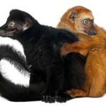Lemur-aux-yeux-turquoises-©-Eric-Isselée