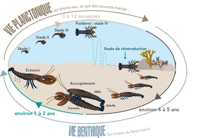 Le cycle du Homard