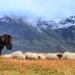 Schafabtrieb - Laufaleitir - Sheep roundup(1)