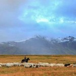 Schafabtrieb - Laufaleitir - Sheep roundup(2)