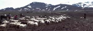 Schafabtrieb - Laufaleitir - Sheep roundup(3)