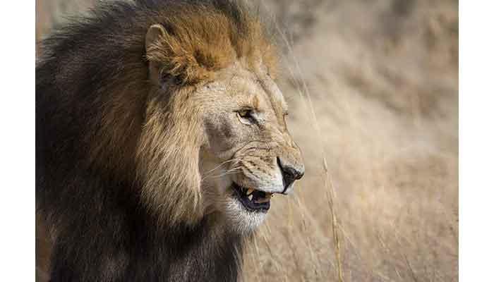 Lion mâle, le plus grand prédateur d'Afrique // © Ellen Husain - Silverback Films 2015