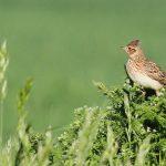 Oiseaux disparaissent : V. Bretagnolle, CEBC (CNRS/Université de La Rochelle)