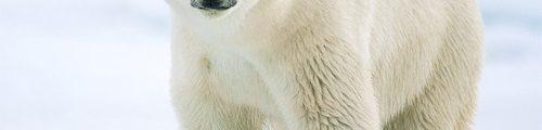 Sebastian Copeland : Ours polaire (Ursus maritimus), banquise canadienne