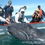 Baleine en Basse Californie